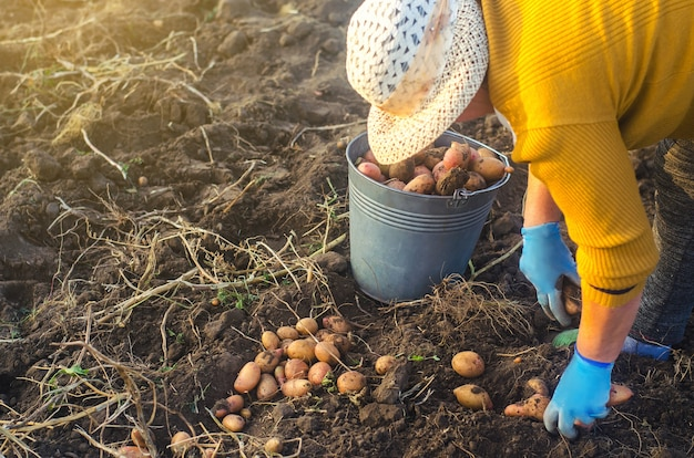 Una donna contadina raccoglie patate dissotterrate in un secchio. lavora nel campo dell'azienda agricola. campagna di raccolta
