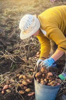 La donna dell'agricoltore raccoglie le patate. lavora su un campo. alimenti biologici freschi