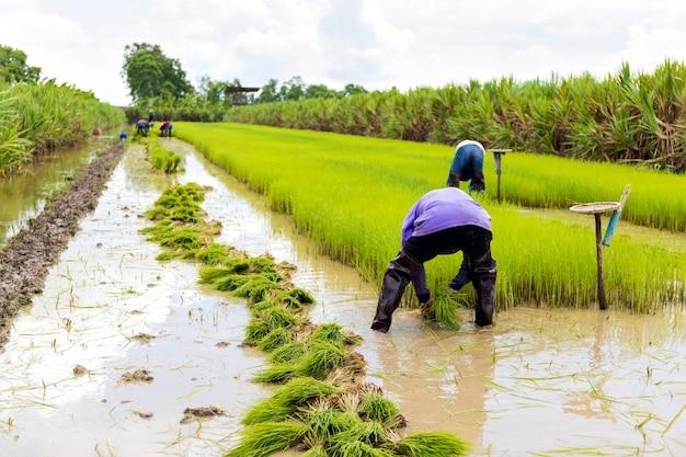 Lavoro contadino. l'agricoltore sta preparando le piantine di riso con messa a fuoco morbida e luce sullo sfondo
