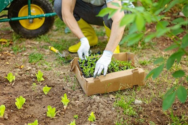 Contadino in stivali di gomma gialli e guanti che piantano giovani piantine di insalata di lattuga e pepe nell'orto. vasi,scatole con semafori e auto da giardino sullo sfondo. concetto di crescita di ecologia.