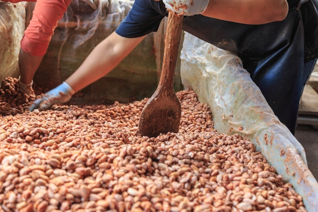 Gli agricoltori stanno fermentando le fave di cacao per fare il cioccolato.