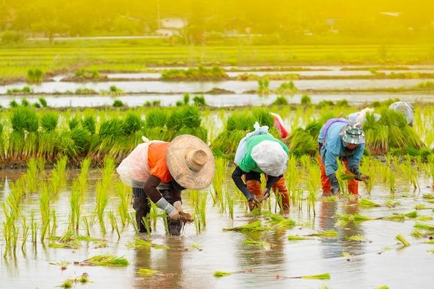 Gli agricoltori stanno piantando il riso nella fattoria. gli agricoltori si piegano per coltivare il riso. agricoltura in asia. coltivazione utilizzando le persone.