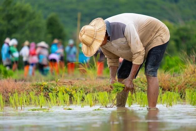Gli agricoltori stanno piantando il riso nella fattoria gli agricoltori si piegano per coltivare il riso l'agricoltura in asia la coltivazione utilizza le persone.