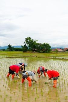 Gli agricoltori stanno piantando il riso nella fattoria. gli agricoltori si piegano per coltivare il riso. agricoltura in asia.