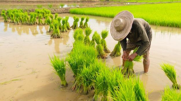 Gli agricoltori stanno preparando le varietà di riso per la semina. coltivando in campagna. coltivando a terra. trapiantando piantine di riso per la semina.