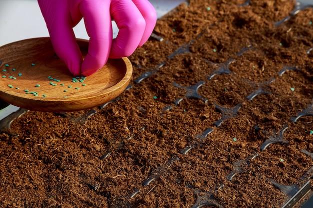 Gli agricoltori stanno seminando piante da seme nel terreno. piantina in crescita, trapianto, semina di ortaggi