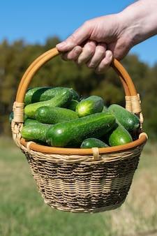 La mano dell'agricoltore tiene il cesto di vimini con cetrioli biologici coltivati in fattoria freschi