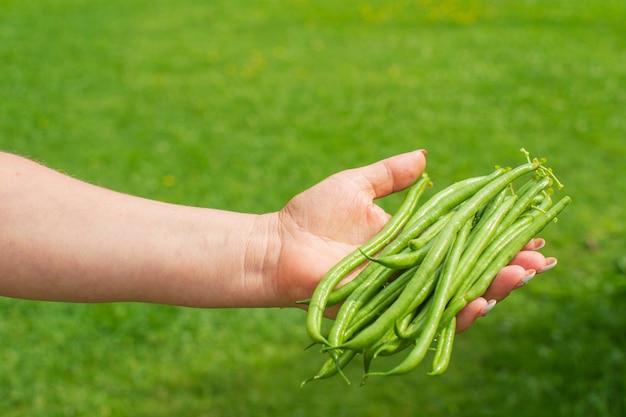 Le mani degli agricoltori raccolgono fagioli in giardino raccolta di cibo sano concept
