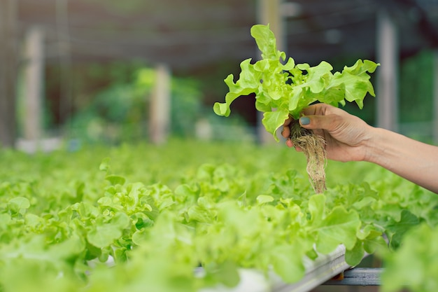 Mani degli agricoltori che tengono la verdura fresca di coltura idroponica in fattoria