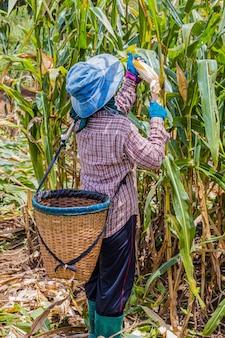 Agricoltori che raccolgono mais a mezzogiorno