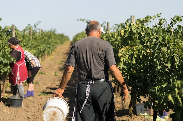 Agricoltori che raccolgono l'uva da un vigneto. raccolta autunnale.
