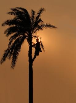 Gli agricoltori hanno raccolto il succo dalle palme da dattero