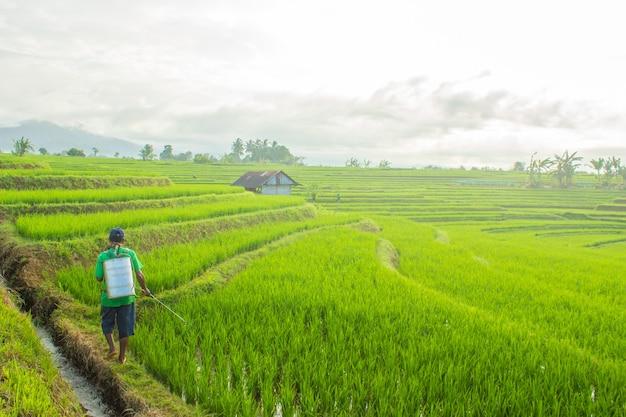 Al mattino gli agricoltori spruzzano sulle risaie asiatiche