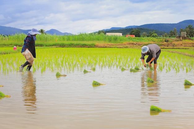 Gli agricoltori piantano il riso in un campo di riso