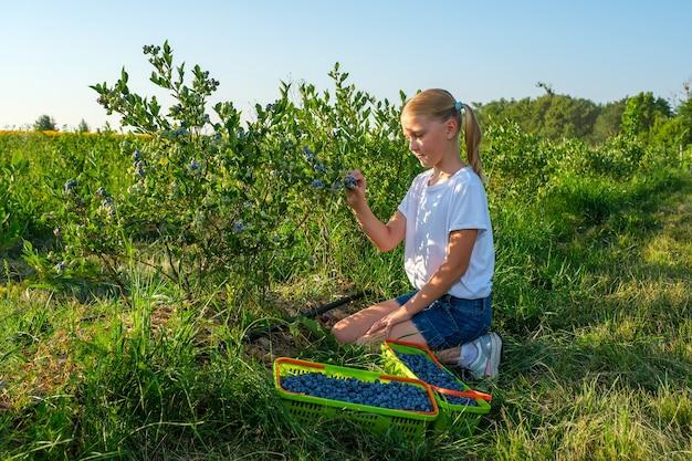 La giovane figlia degli agricoltori raccoglie i mirtilli da un cespuglio in un'azienda agricola biologica