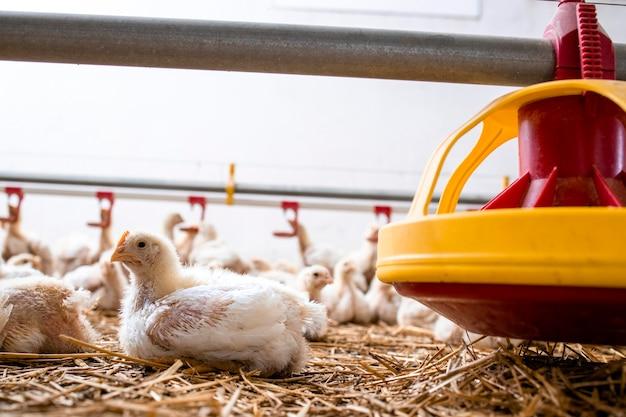 Pollo a crescita rapida che giace in un allevamento di pollame per la produzione di carne industriale.
