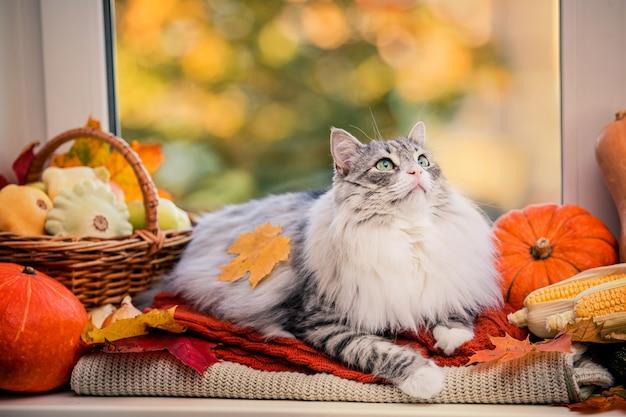 Un gatto grigio lanuginoso grasso giace sulla finestra tra le zucche