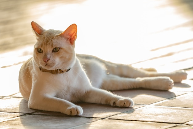 Gatto asiatico maschio grasso sdraiato sul pavimento di legno con luce di esposizione dietro.