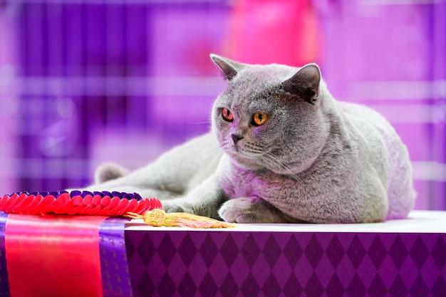 Fat thai korat cat
