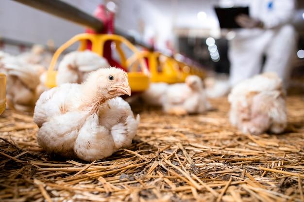 Pollo da ingrasso in un moderno allevamento di pollame per la produzione di carne.