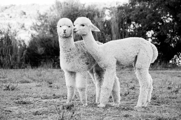 Fawn close herd camelid animal daughter