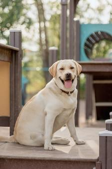 Il labrador retriever fulvo è impegnato sul campo di addestramento il labrador retriever domestico è