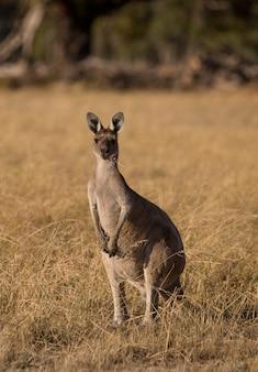 Con un canguro nel selvaggio dell'australia