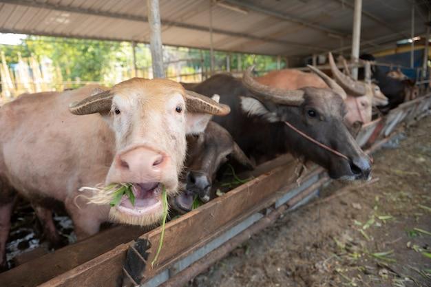 Nutrire il bufalo in fattoria, dare da mangiare erba verde al bufalo in campagna