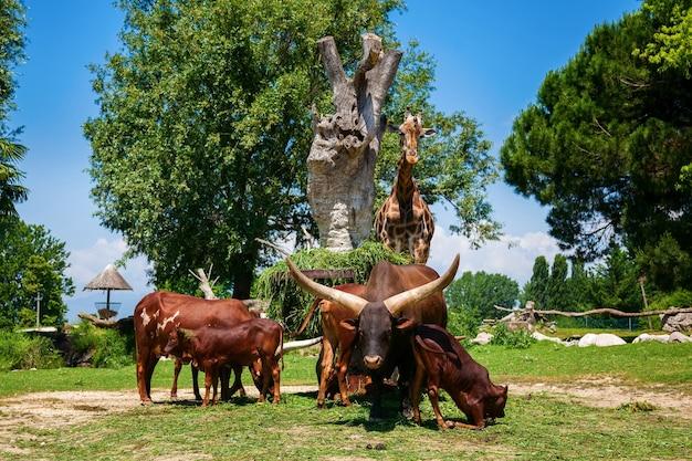 Tempo di alimentazione per il branco di tori watusi marroni e una giraffa nello zoo, italia