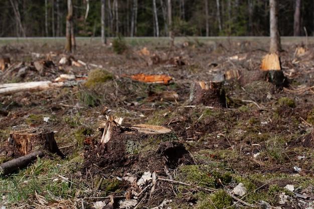 Alberi di pino abbattuti nella foresta. deforestazione e disboscamento illegale, commercio internazionale di legname illegale. ceppo dell'albero vivente abbattuto nella foresta. fauna selvatica di distruzione. esportazione e importazione di legno