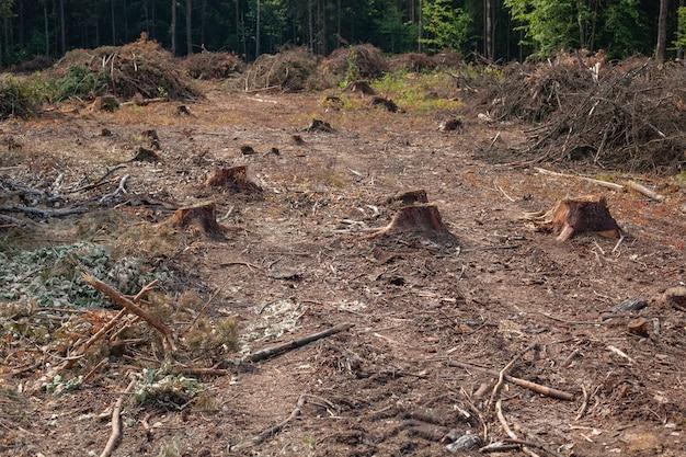 Alberi di pino abbattuti nella foresta. deforestazione e disboscamento illegale