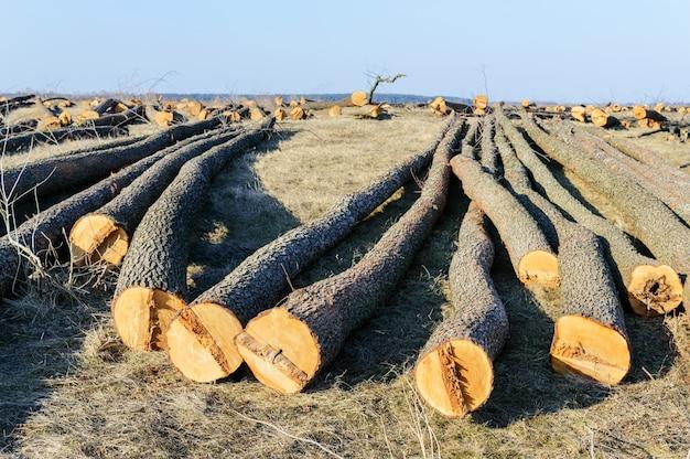 Gli alberi abbattuti giacciono a terra. grandi tronchi - tronchi pelati dai rami. pulizia delle foreste