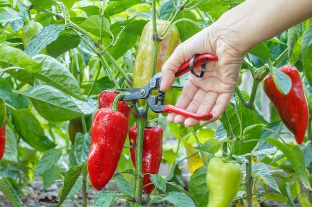Giardiniere femminile che raccoglie peperone dolce rosso maturo che cresce sul cespuglio nel giardino. profondità di campo. focus sui peperoni.