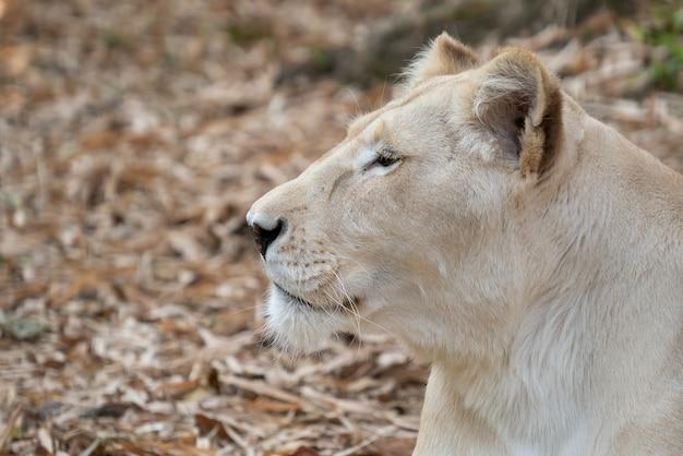 Leone africano femmina