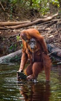 La femmina e il cucciolo di orango bevono acqua dal fiume nella giungla. indonesia. l'isola di kalimantan (borneo).
