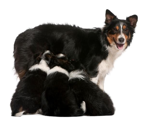 Femmina border collie, 3 anni, e border collie cuccioli, 6 settimane,
