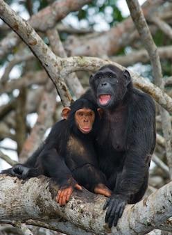 Scimpanzé femmina con un bambino sugli alberi di mangrovie