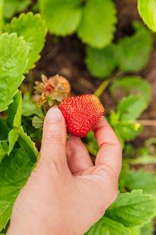 Mano femminile del lavoratore agricolo che raccoglie la fragola organica matura fresca rossa in giardino