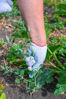 Contadina che lavora in giardino. una donna strappa le erbacce in un orto biologico. primo piano delle mani.