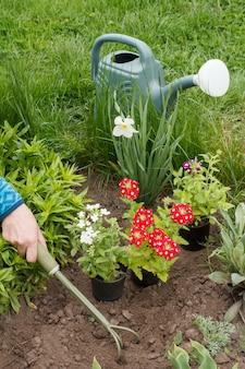Il giardiniere femminile sta piantando fiori di verbena rossi e bianchi in un letto da giardino usando il rastrello.