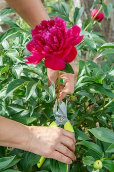 Il giardiniere femminile si occupa del giardino. donna con forbici da potatore fiore di peonia rossa