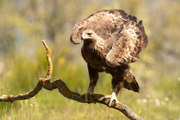 Aquila reale femminile su un ramo in un bosco di querce con le prime luci del giorno