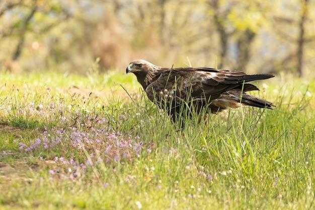 Femmina di aquila reale in un bosco di querce con le prime luci del giorno