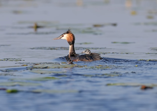 Svasso maggiore femminile galleggia sul lago con uno dei suoi pulcini sul dorso