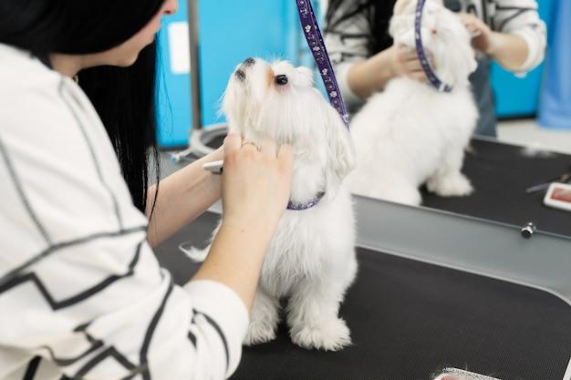 Taglio di capelli toelettatore femminile bolonka bolognese sul tavolo per toelettatura nel salone di bellezza per cani