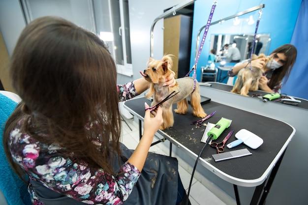Taglio di capelli femminile toelettatore yorkshire terrier sul tavolo per la toelettatura