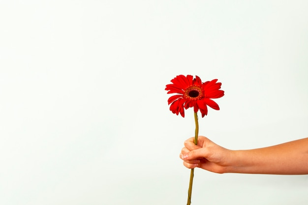 Mano femminile che tiene fiore rosso sbocciante del gerber su fondo leggero.