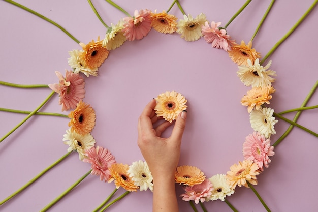 Una mano femminile tiene un fiore di gerbera arancione in una cornice rotonda di diversi fiori di gerbera su uno sfondo rosa come cartolina per la festa della mamma o l'8 marzo. vista dall'alto