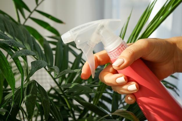 Mano femminile tiene polverizzatore rosa e spruzza pianta d'appartamento verde