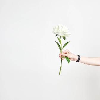 La mano femminile tiene un rametto di pione su una priorità bassa bianca